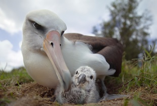 Laysan albatross parent and chick, Midway Island, 2012.