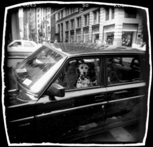 Dog Driver, NY