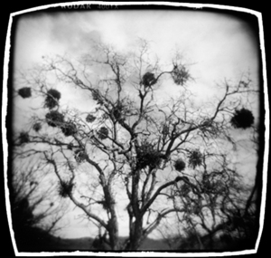 Trees with Nests, Oregon