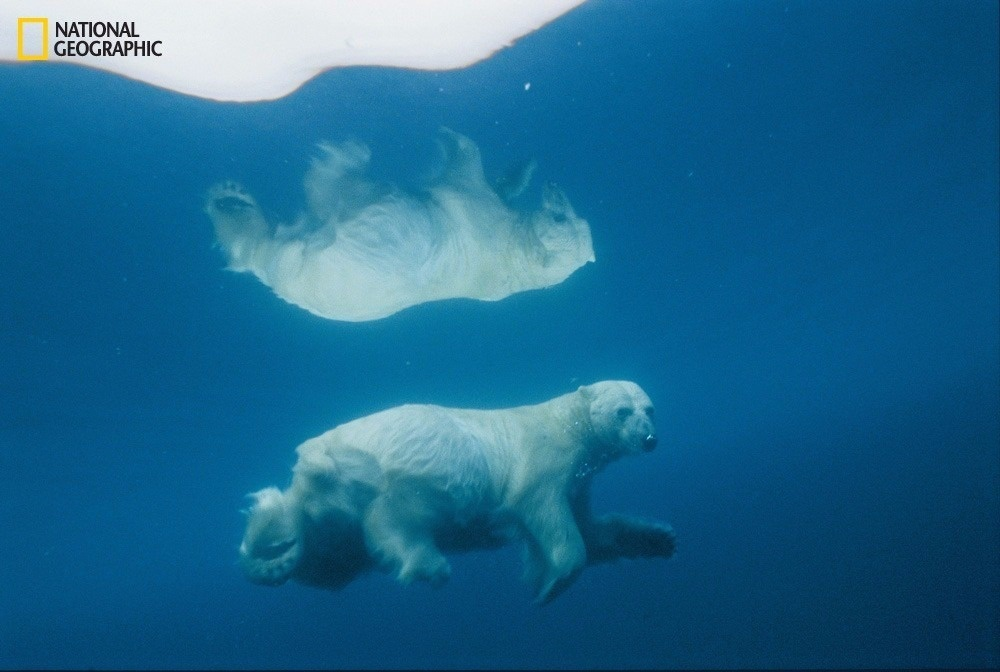 Its image mirrored in icy water, a polar bear travels submerged—a tactic often used to surprise prey. Scientists fear global warming could drive bears to extinction sometime this century. From the October 125th anniversary issue of National Geographic magazine.