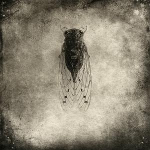 cicada© Gary