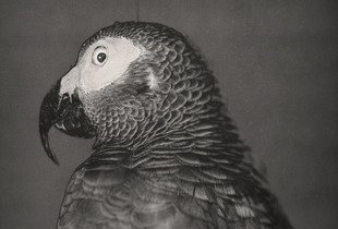 African Grey Parrot, Psittacus erithacus© David Ellingsen