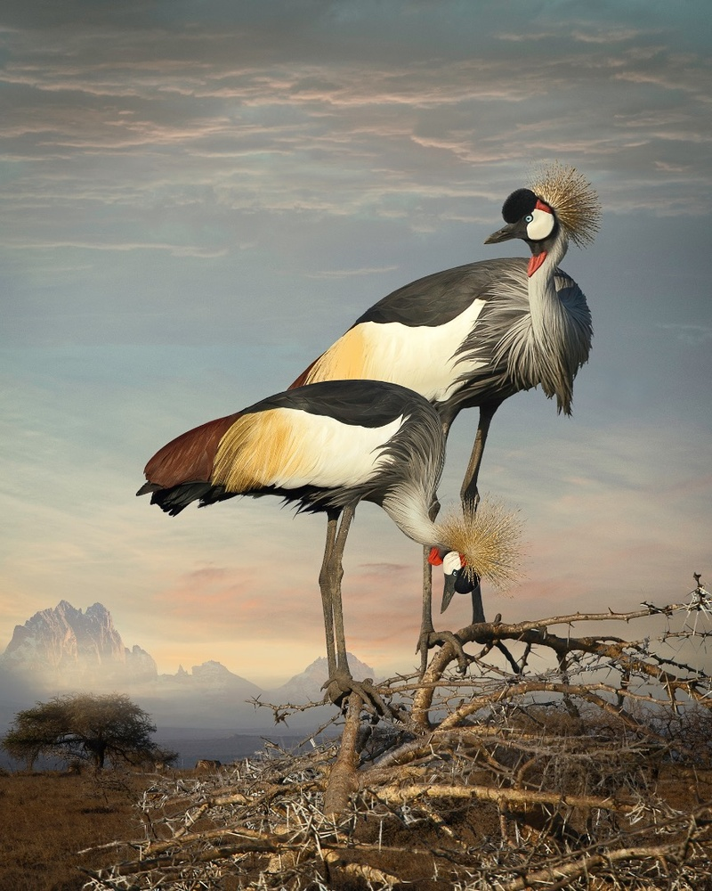 Grey Crowned Cranes. Finalist, LensCulture Earth Awards 2015.