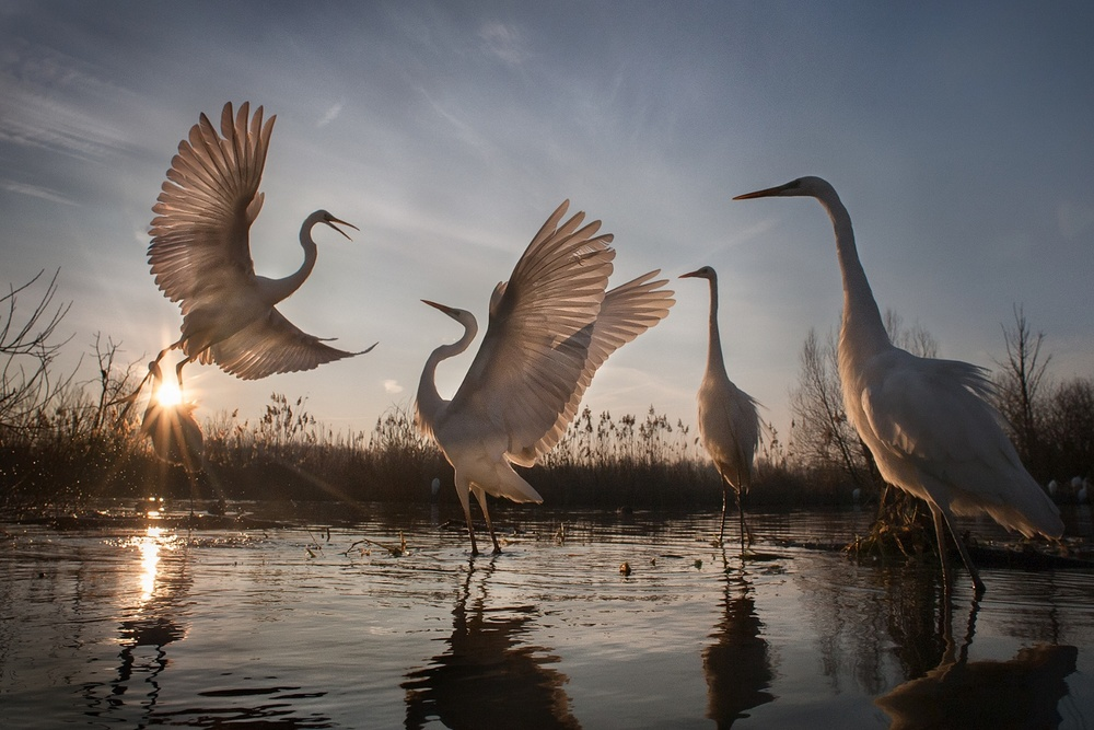 At Dawn. Great Egrets, Hungary. Finalist, LensCulture Earth Awards 2015.