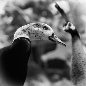Duck and Peacock © Anne Berry