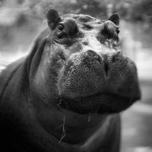 Hippopotamus © Anne Berry