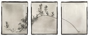 Botanical Specimen with Salt (Myrtle) © Claire A. Warden