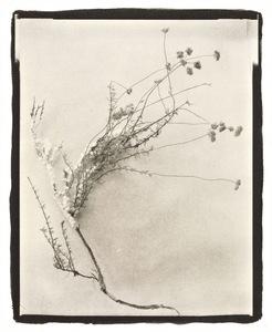 Botanical Specimen with Salt (Wildflower No. 4) © Claire A. Warden