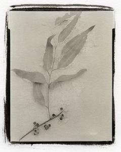 Botanical Specimen with Salt (Eucalyptus) © Claire A. Warden
