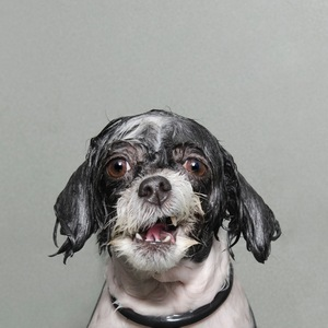 """Wet Dog"" is a series of portraits of dogs caught mid?bath. The dogs are photographed at a vulnerable moment, half a second before they shake the water off their fur © Sophie Gamand, United States. Finalist, Portraiture, Professional. 2014 Sony World Photography Awards"