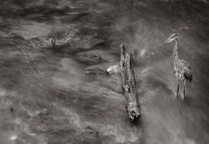 Heron and Log   © Shaun OBoyle