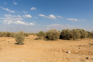 Shrubs at the outskirts of Azraq. Jordan is dominated by desert conditions and it's a challenging environment for the Syrian refugees who have established an impromptu camp. © David Brunetti