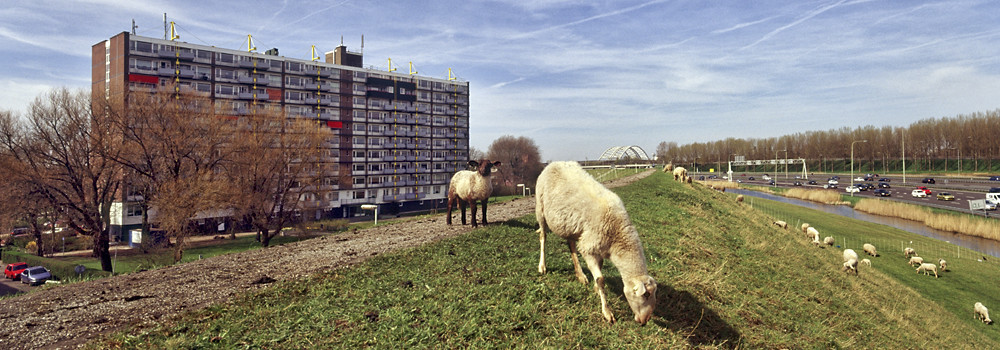Rotterdam, Tuinhoven sheep on the noise barrier along the A16. From the series Landsacape Borderlines by © Ineke Key