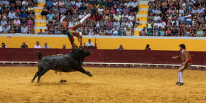 Forcado is thrown to the air by the bull while he tried to performe a face catch. Sometimes performances goes wrong and focados suffer many injuries.  © Eduardo Leal