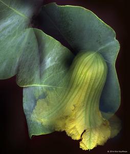 Squash Blossom © 2014 Kim Kauffman