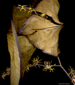Witch-hazel © 2014 Kim Kauffman
