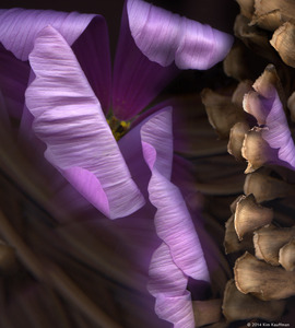 Cosmos and Dried Yucca © 2014 Kim Kauffman