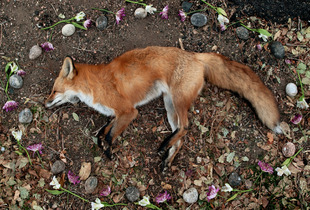 Fox from the series At Rest © Emma Kisiel