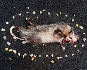 Possum from the series At Rest © Emma Kisiel