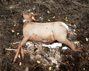 Elk from the series At Rest © Emma Kisiel