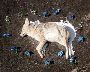Coyote from the series At Rest © Emma Kisiel