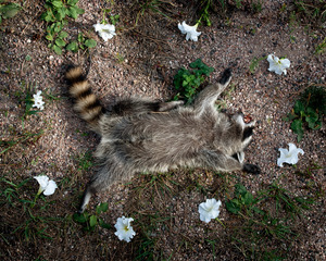 Raccoon from the series At Rest © Emma Kisiel